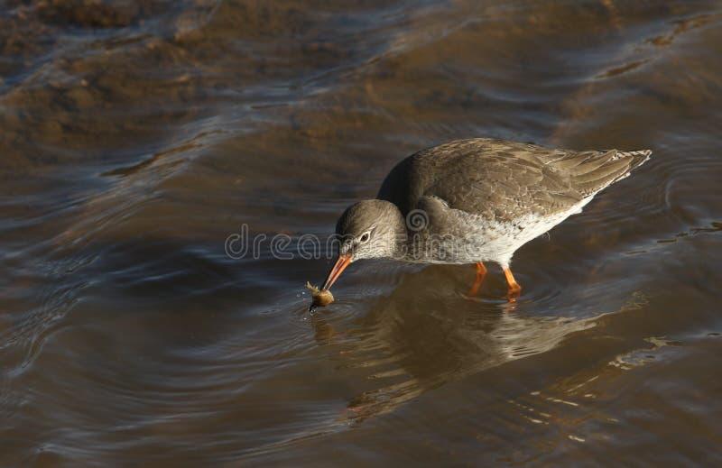 Un bello totanus del Tringa della pettegola con un granchio in suo becco che appena ha preso in un estuario del mare e si accinge fotografia stock libera da diritti