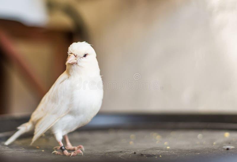 Un bello uccello color giallo canarino bianco con bokeh immagini stock libere da diritti