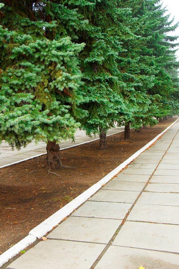 Un bello vicolo verde degli abeti verdi in un parco di grande città immagini stock libere da diritti