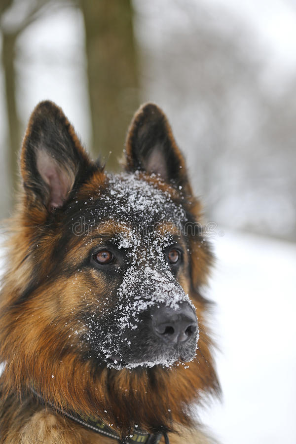 Un berger allemand neigeux photo libre de droits