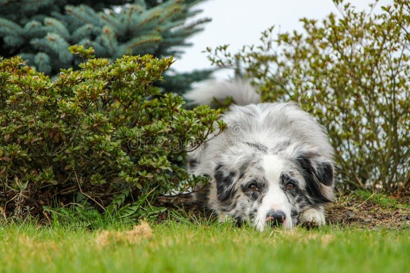 Un berger australien triste et seul images libres de droits