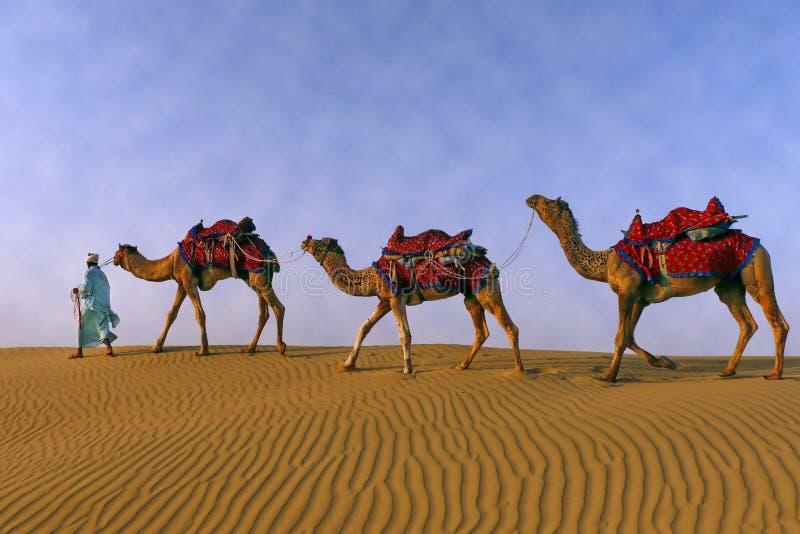 Un berger frôlant son troupeau de chameaux image libre de droits