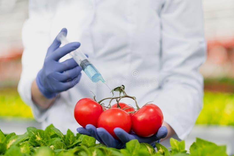 Un biólogo del científico en una capa y guantes protectores del laboratorio introduce un líquido azul en las verduras, tomates imagen de archivo