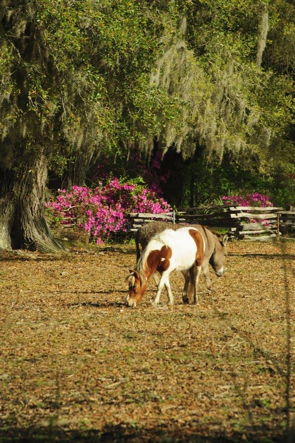 Un bianco e un cavallino macchiato roano pasce in un giardino con Live Oak Trees e le azalee immagine stock libera da diritti