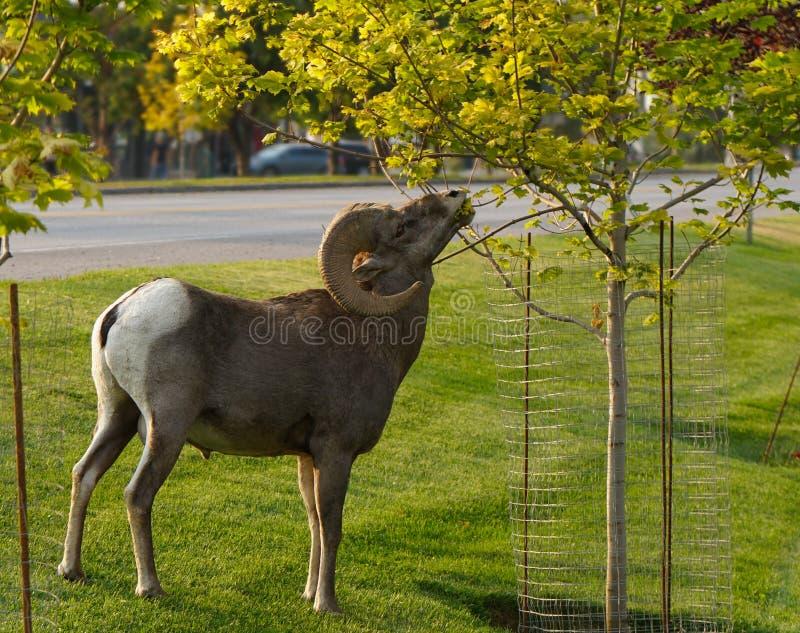 Un Bighorn Ram Looking per certo fare un spuntino della città immagine stock libera da diritti