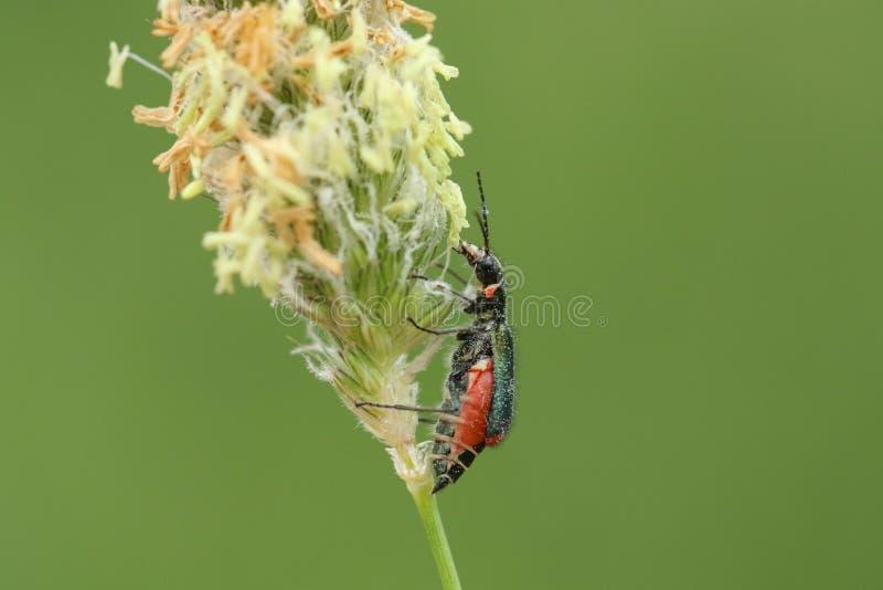 Un bipustulatus comune sbalorditivo di Malachius dello scarabeo della malachite che si appollaia su una testa del seme dell'erba fotografie stock libere da diritti
