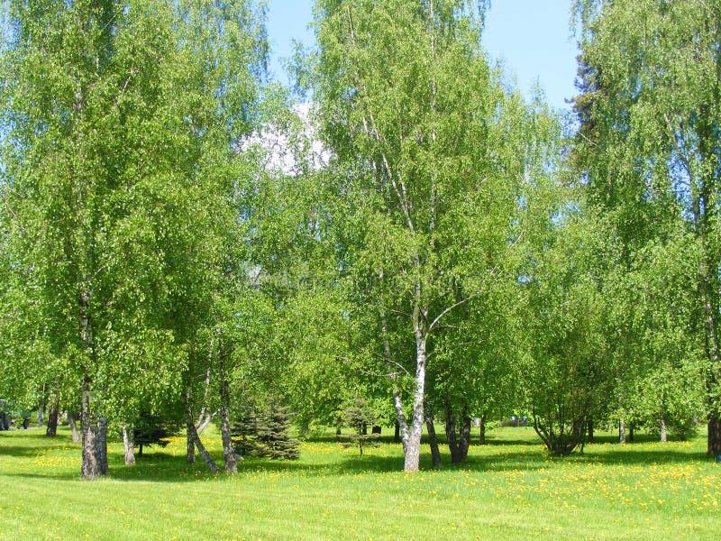 Un birchwood di estate fotografie stock libere da diritti
