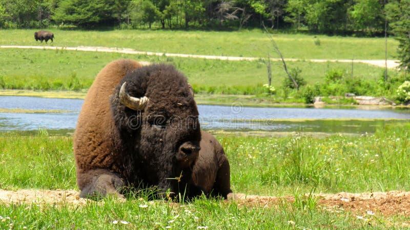 Un bison détendant dans la prairie image stock