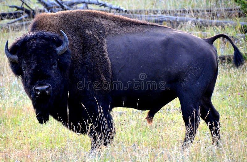 Un bison de parc national en pierre jaune image libre de droits