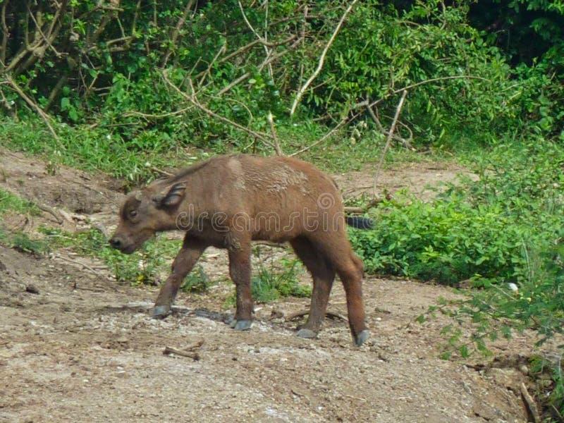 un bisonte del bebé en África imágenes de archivo libres de regalías