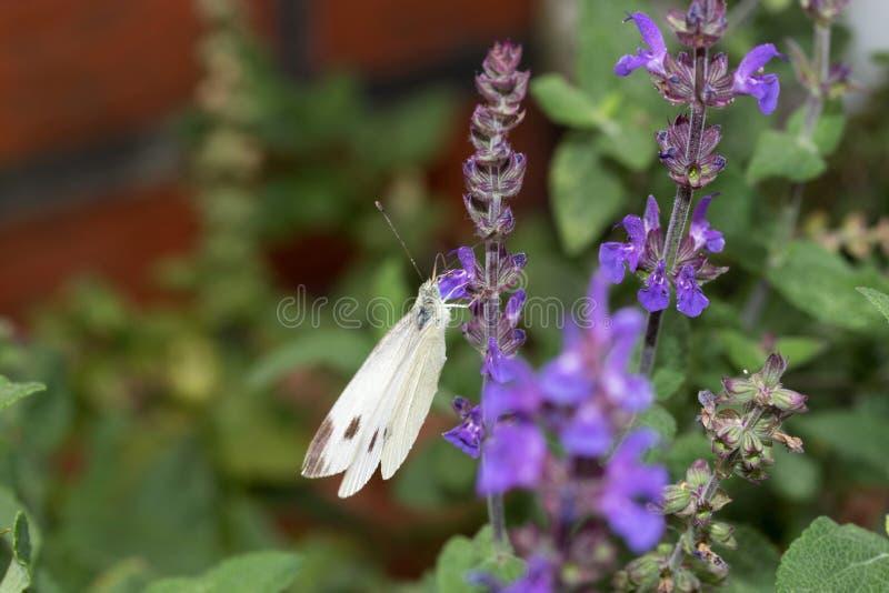 Un blanco de col grande que se sienta del lado izquierdo en un sabio de la lila imagen de archivo libre de regalías