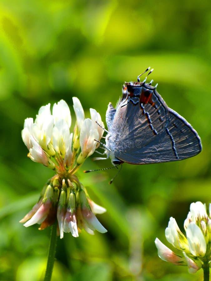 Papillon coupé la queue par bleu oriental sur le trèfle photo libre de droits