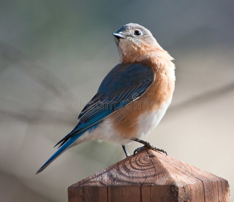 Un bluebird muy orgulloso. fotos de archivo