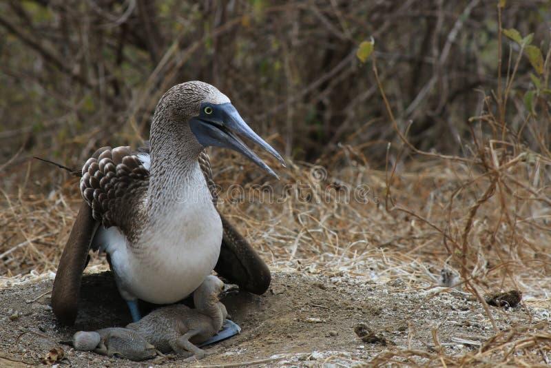 Un bobo con base azul, nebouxii del Sula, protegiendo su jerarquía con dos polluelos jovenes sin las plumas imágenes de archivo libres de regalías