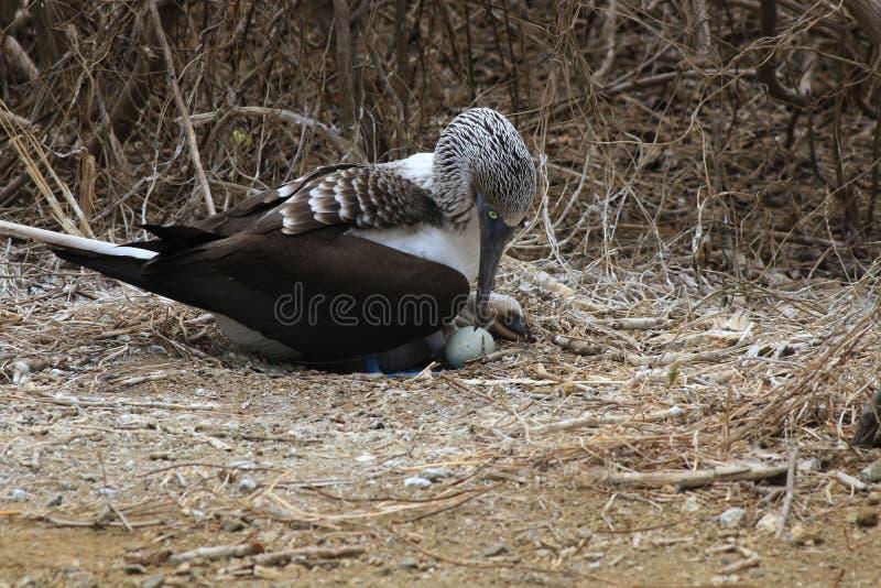 Un bobo, un nebouxii con base azules del Sula, sentándose en su jerarquía con un huevo y un polluelo fotografía de archivo