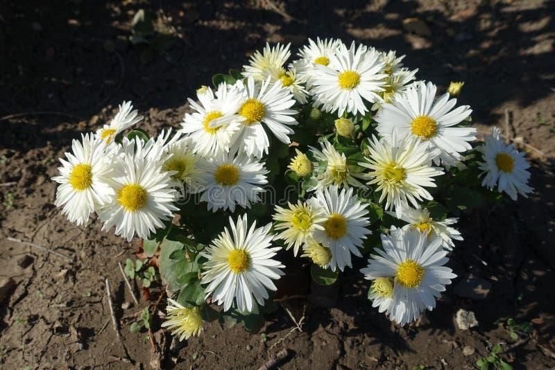 Fiori Bianchi Ottobre.Cespuglio Di Fioritura Del Prunus Tomentosa In Primavera