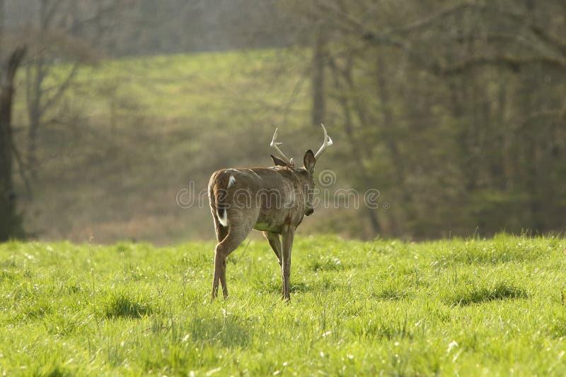 Un bon mâle de huit points marche lentement par un pré de début de la matinée photos libres de droits