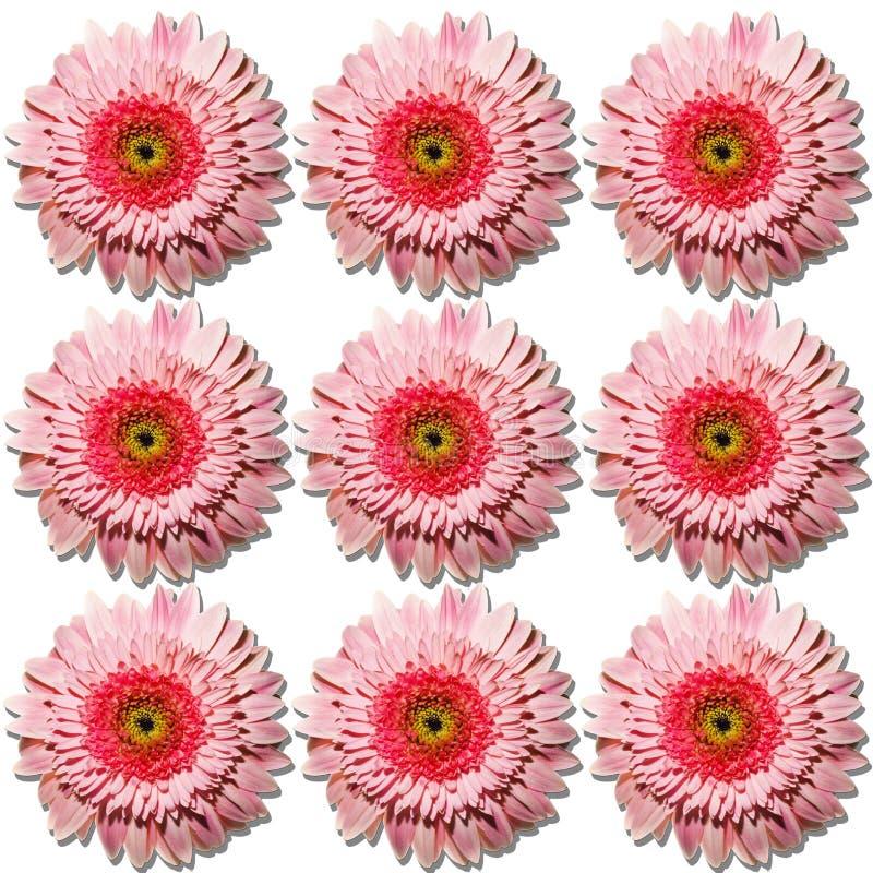 Un bon nombre de belles fleurs roses de gerbera image libre de droits