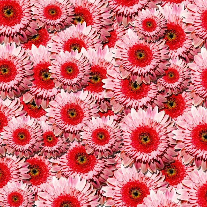 Un bon nombre de belles fleurs roses de gerbera images stock
