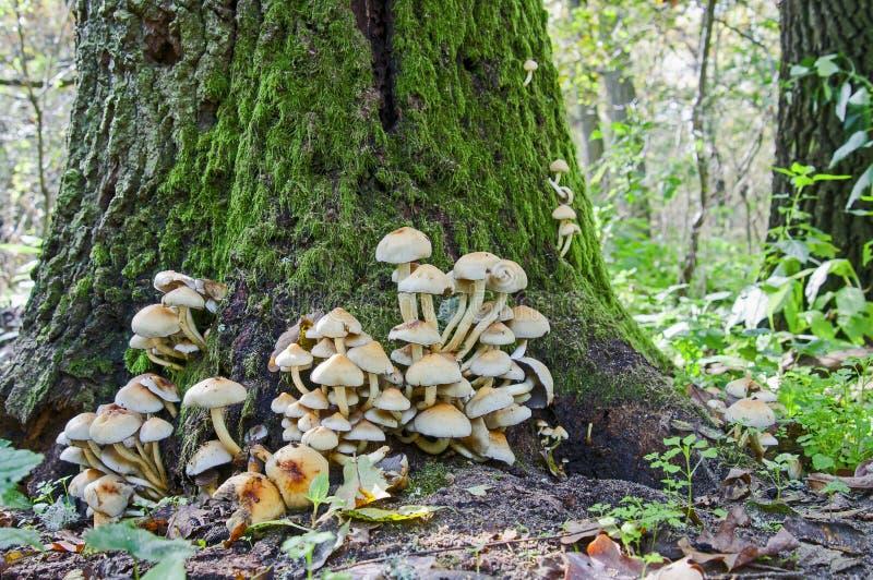 Un bon nombre de champignons de touffe de soufre images libres de droits