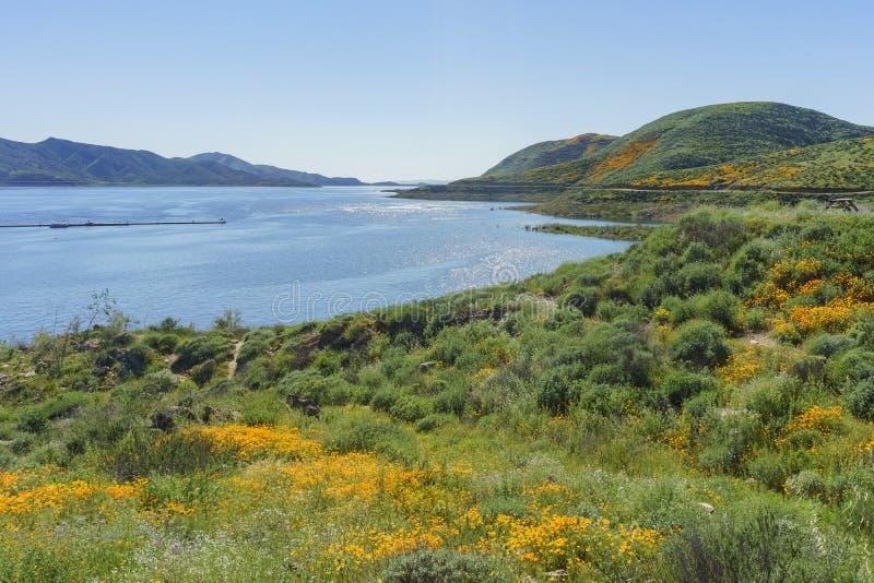 Un bon nombre de fleur de fleur sauvage chez Diamond Valley Lake images libres de droits