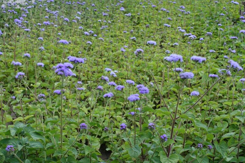 Un bon nombre de fleurs mauve d'Ageratum photos stock