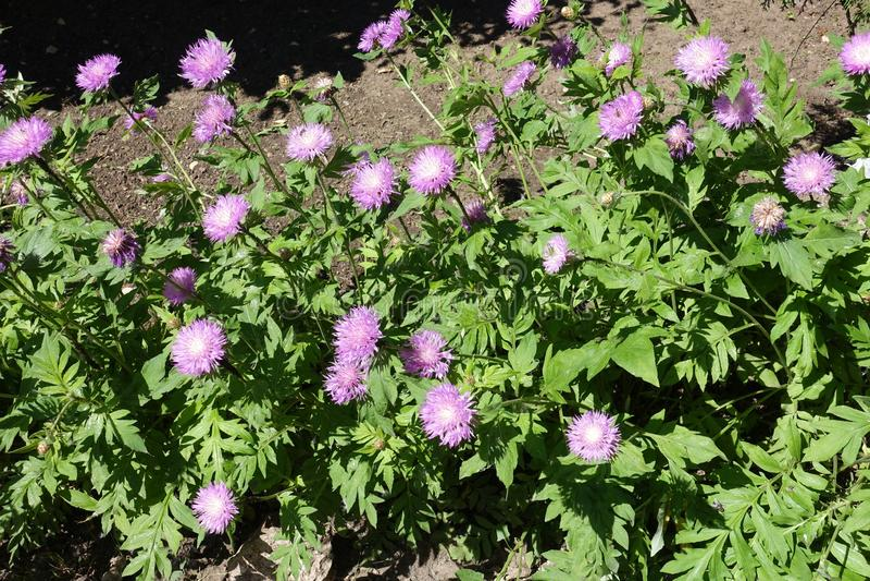 Un bon nombre de fleurs mauve de dealbata de Centaurea images stock