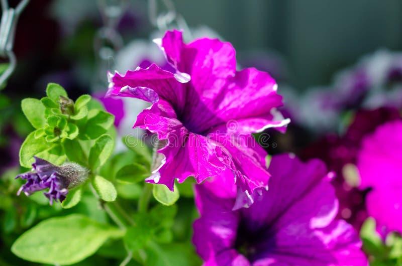 Un bon nombre de fleurs pourpres roses lumineuses dans le buisson vert photo libre de droits