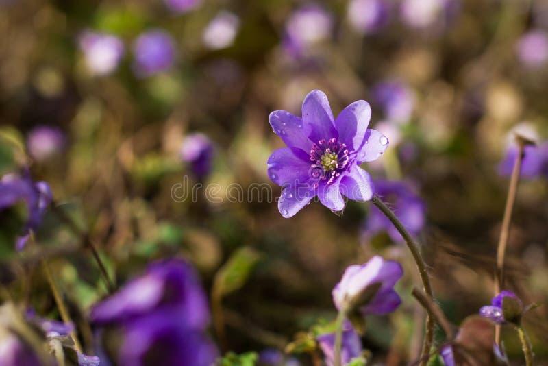 Un bon nombre de fleurs rares de liverleaf ou de hepatica en nature sauvage, ultra image stock