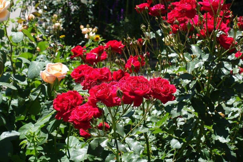 Un bon nombre de fleurs rouges de rose dans le jardin photo libre de droits