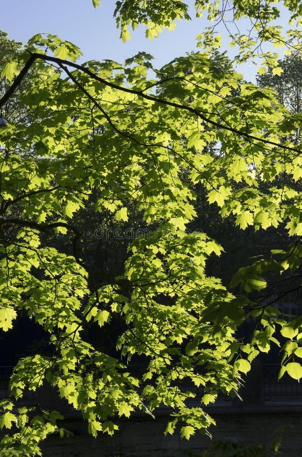 Un bon nombre de jeunes feuilles d'érable dans le printemps image stock