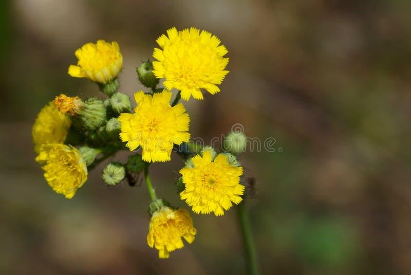 Un bon nombre de petites fleurs jaunes sauvages sur une tige verte photo libre de droits