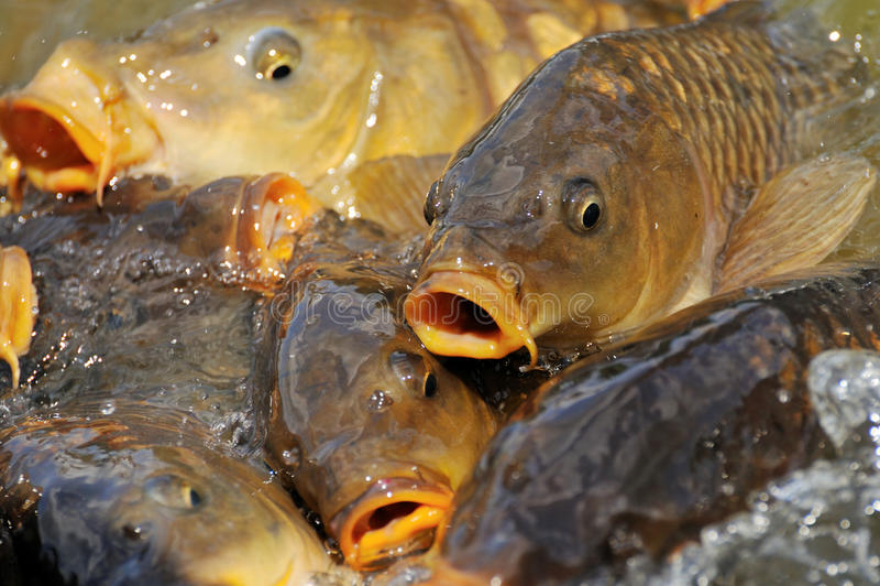 Un bon nombre de poissons de carpe photo libre de droits