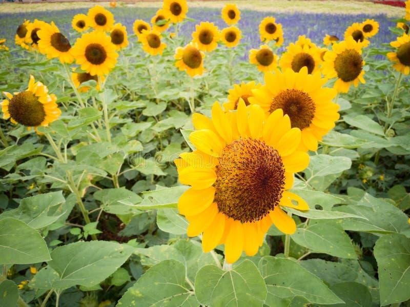 Un bon nombre de tournesols prospères jaunes photographie stock