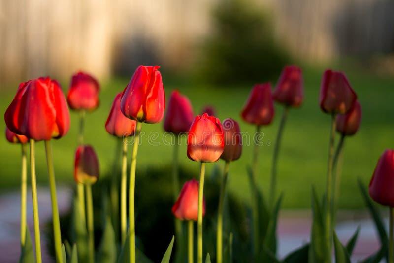 Un bon nombre de tulipes rouges dans l'arrière-cour ou le jardin ou le parc de cour, photo libre de droits