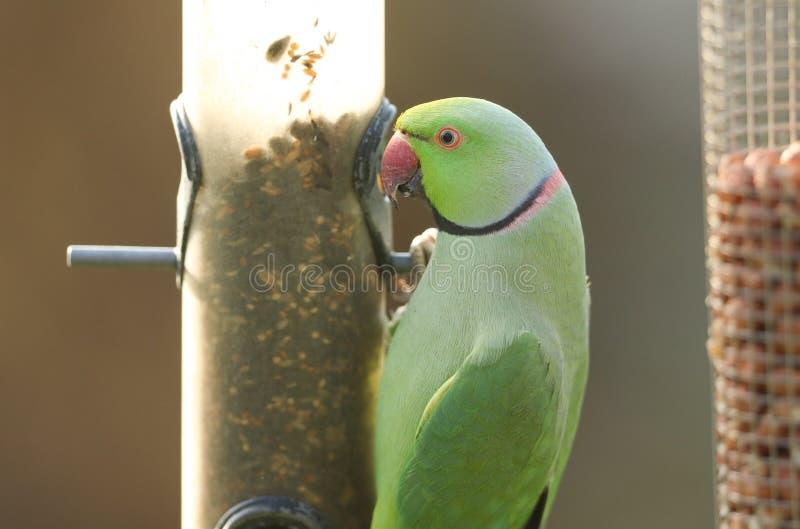 Un bonito parakeet de cuello anaranjado alimentado por un alimentador de semillas Es el loro naturalizado más abundante del Reino fotografía de archivo libre de regalías