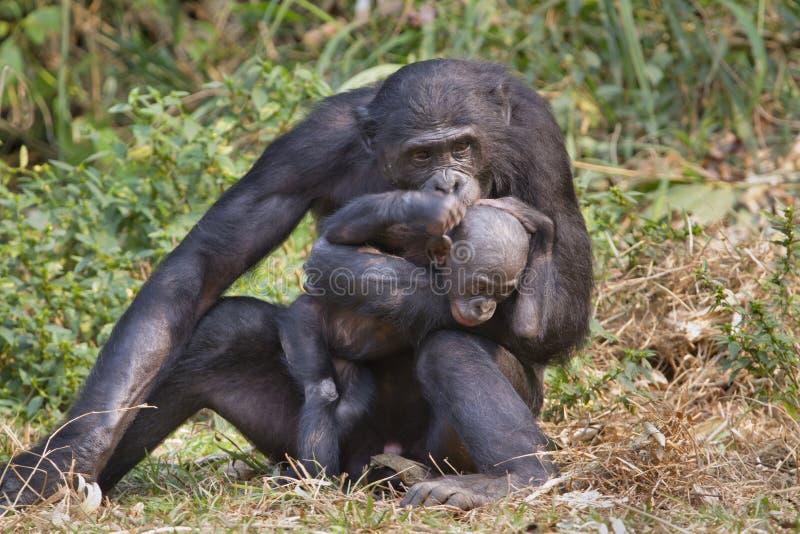 Un bonobo (panicus della vaschetta) con un bambino. fotografie stock