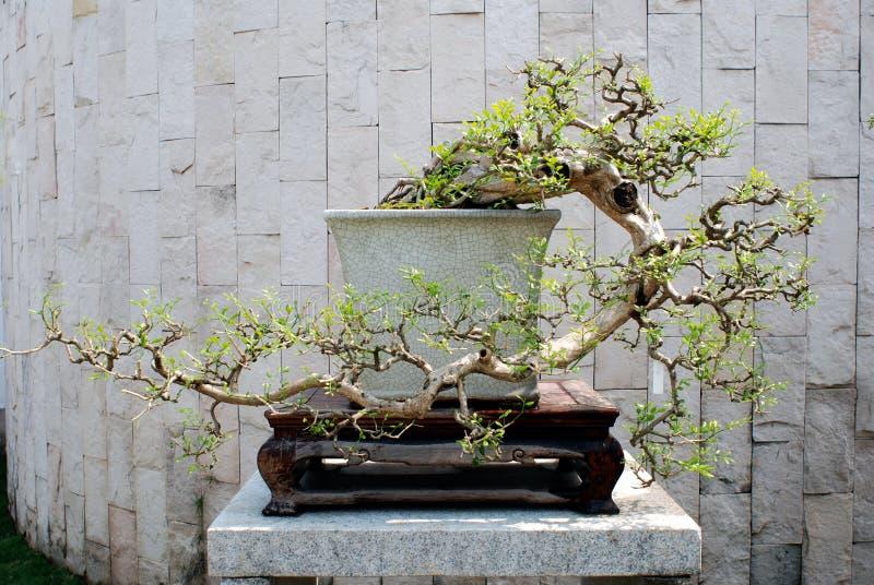 Un bonsai antes de la pared imagen de archivo