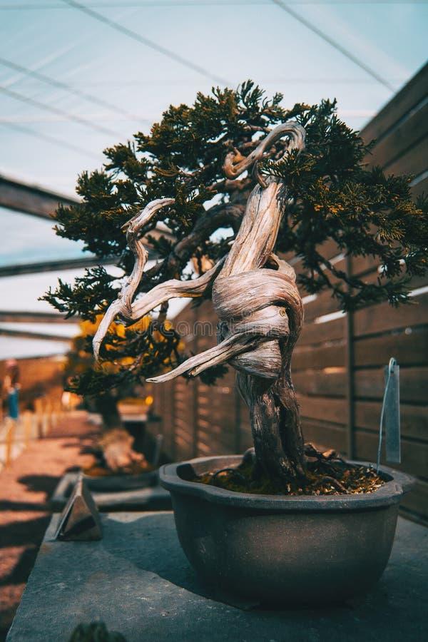 Un bonsai con un tronco torcido en una exposición fotografía de archivo