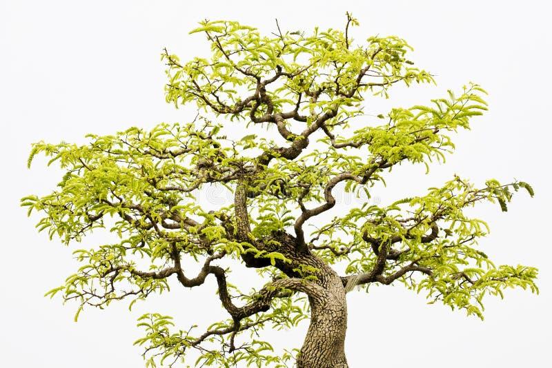 Un bonsai del banyan fotos de archivo