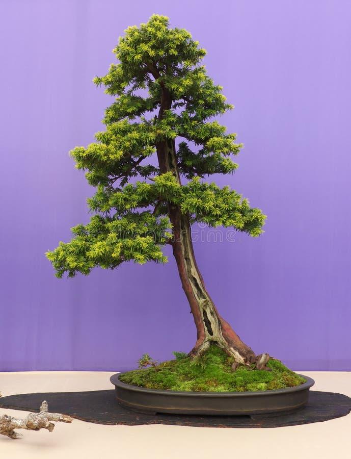 Un bonsai dritto informale del larice sulla manifestazione a Belfast Irlanda del Nord immagine stock