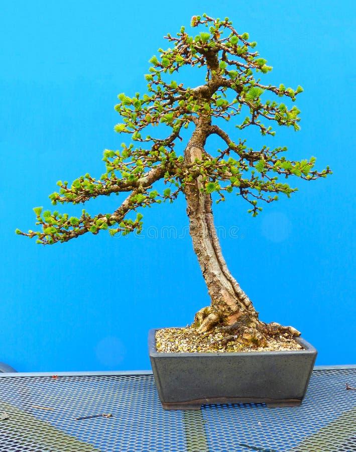 Un bonsai japonés vertical informal del alerce en el entrenamiento de un entusiasta de Irlanda del Norte fotografía de archivo