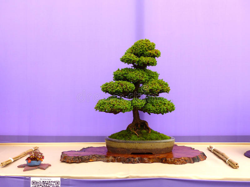 Un bonsai vertical informal de Hinoki Cypress del chuhin en la demostración en Belfast Irlanda del Norte imagen de archivo libre de regalías