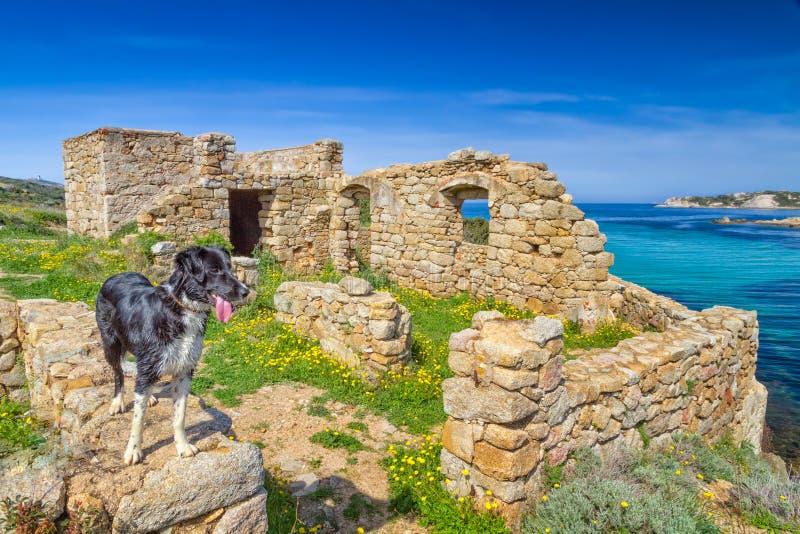 Un border collie se coloca en una ruina en la costa de Córcega foto de archivo libre de regalías