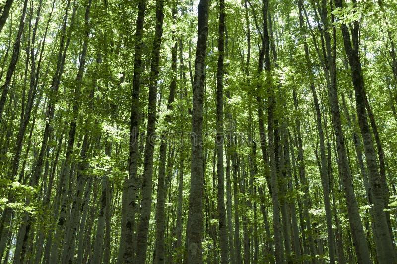 Un boschetto degli alberi di faggio fotografia stock libera da diritti