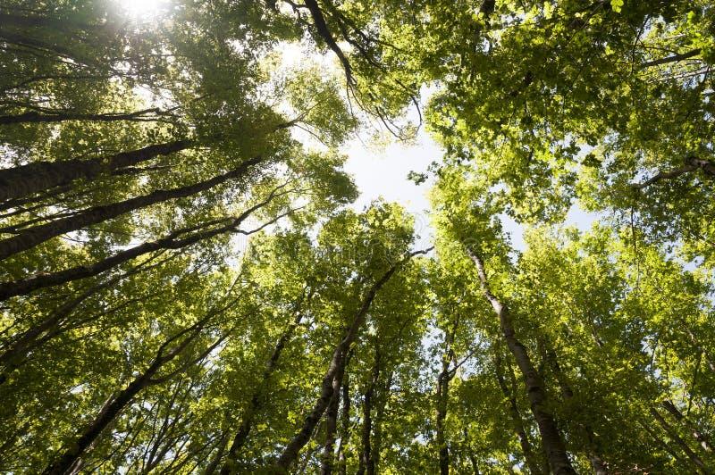 Un boschetto degli alberi di faggio fotografie stock libere da diritti