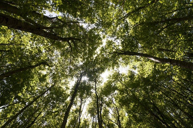 Un boschetto degli alberi di faggio fotografia stock