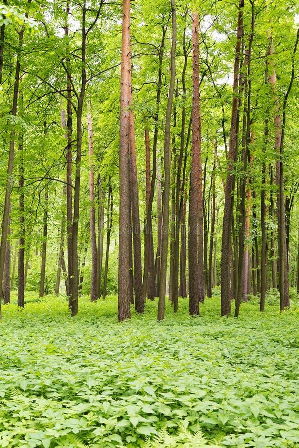 Un bosque denso del pino con los arbustos foto de archivo
