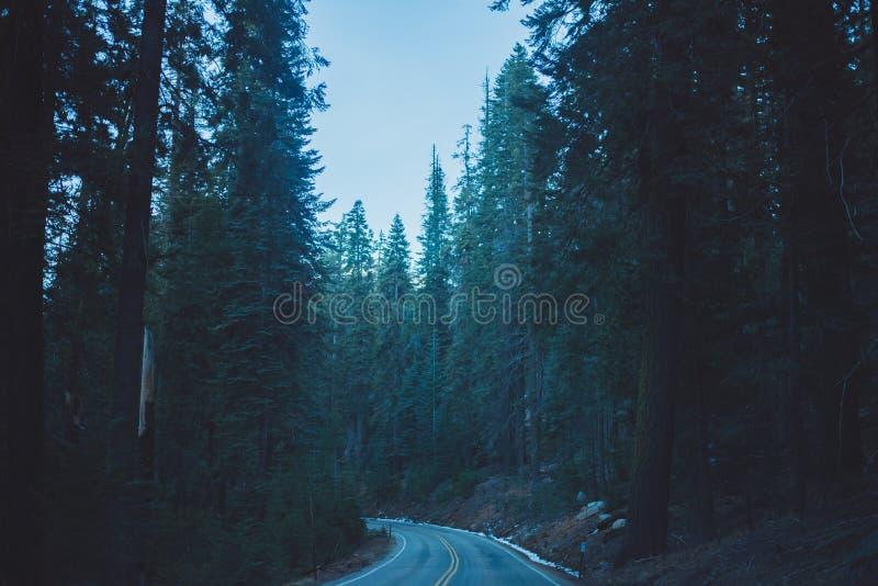Un bosque hermoso poblado con los árboles más grandes del mundo fotos de archivo