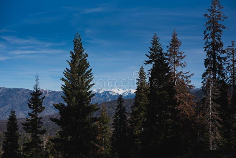 Un bosque hermoso poblado con los árboles más grandes del mundo foto de archivo